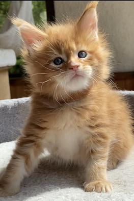 femelle chaton robe rousse