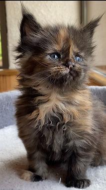 chaton femelle black tortie