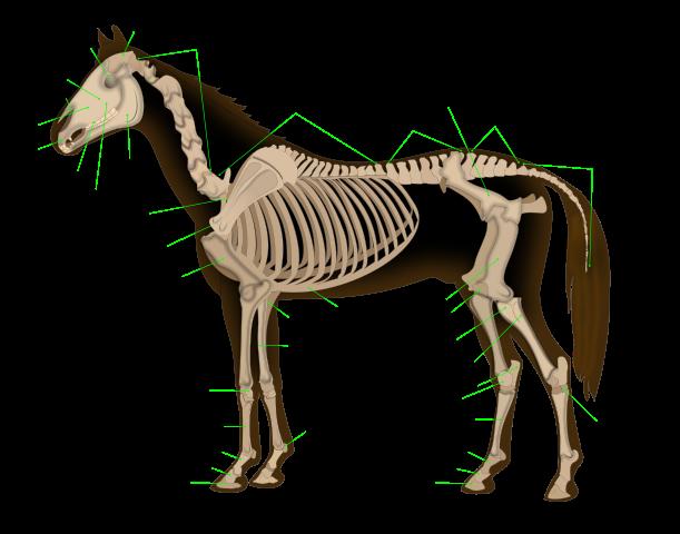 Horse spine