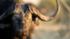 the-big-five-african-cape-buffalo-149974