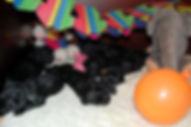 Briard welpen schwarz , E-Wurf Briardwelpen