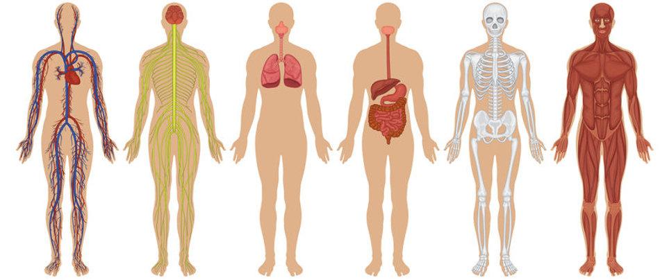 os-diferentes-sistemas-corpo-humano-real