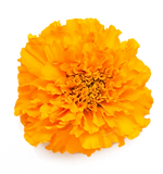 Marigold1.png
