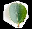 Eucalyptus-leaf3.png