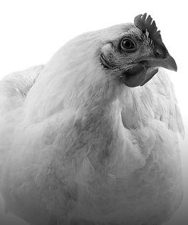 PoultryButton2.jpg