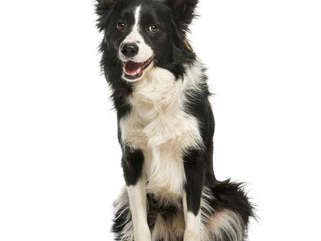 Researching Novels: the Border Collie Lesson