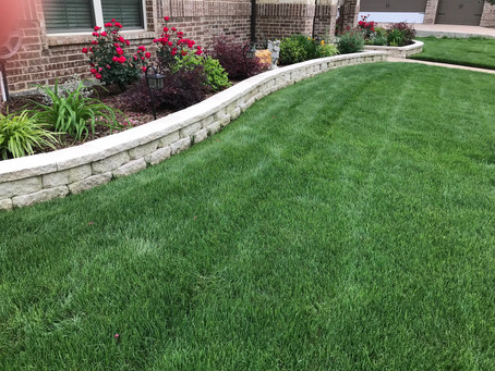 RYE GRASS - Beautiful Green Lawn All Year Long