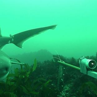 Seven-gill Shark