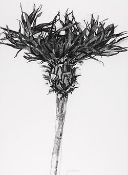 Stem Contemporary Botanical Charcoal Drawings