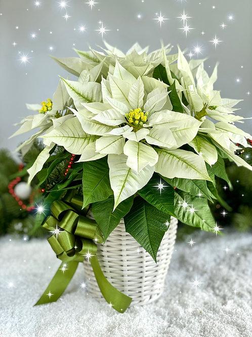 Белая пуансеттия для рождественского декора интерьера