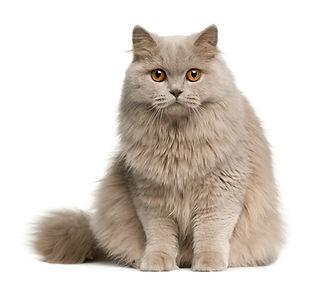 bigstock-British-Longhair-Cat--Months-10