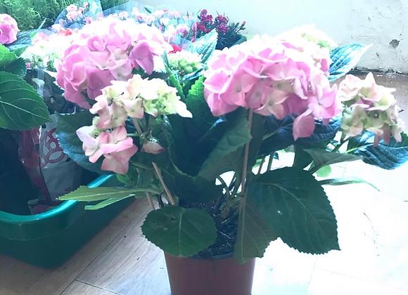 Hydrangea Pink Large