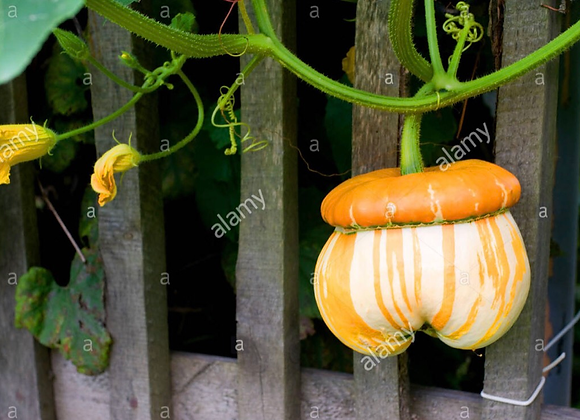 Turks Turban Squash Plants