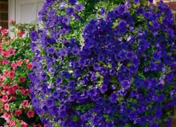 Petunia Surfinia Purple Trailing