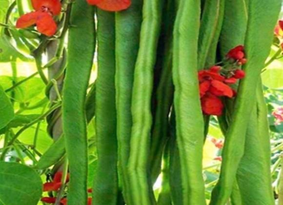 Runner Bean Plants (3 in pot)