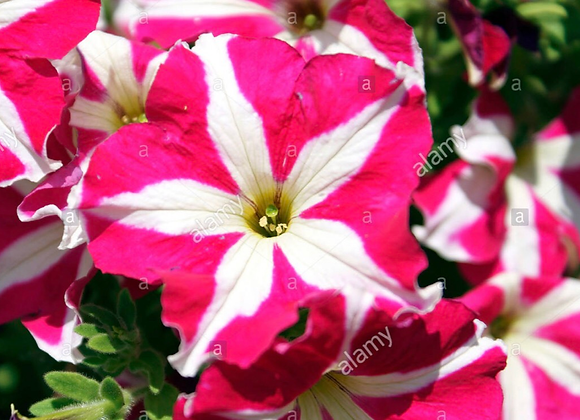 Petunia Pink and White