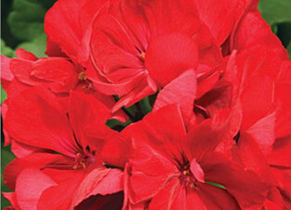 Geranium Red (s)