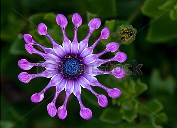 Osteospermum Purple Spoon