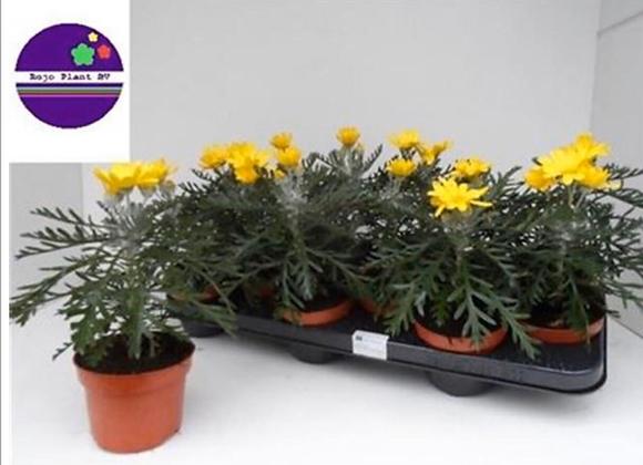 Euryops Yellow Daisy