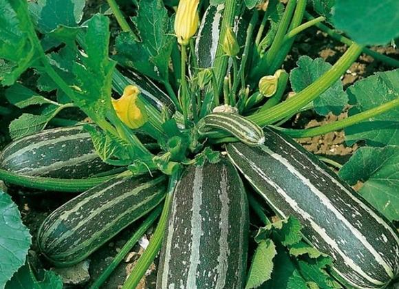 Marrow Plants