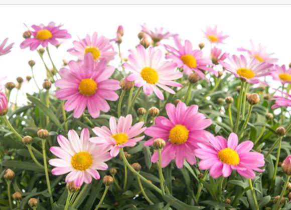 Marguerite Pink Daisy