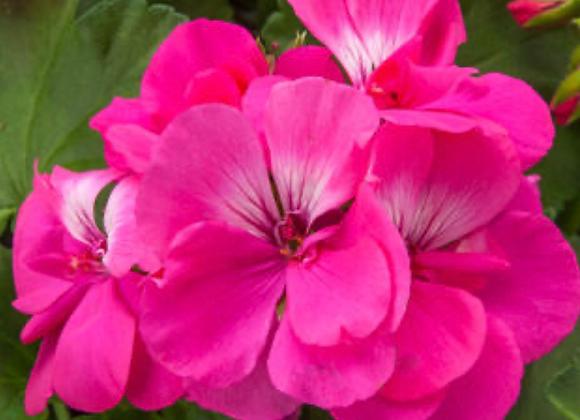 Geranium Hot Pink (s)