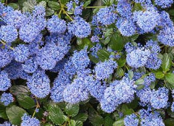 Ceanothus (Blueblossom)