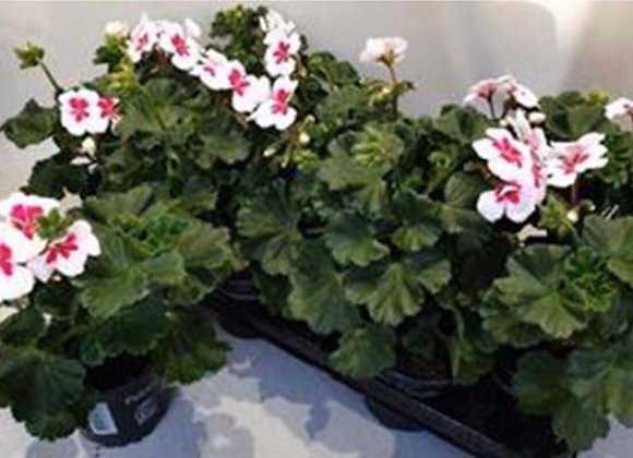 Geranium White Splash