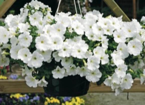Petunia Surfinia White Trailing