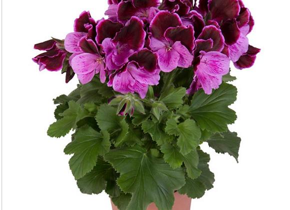 Pelagonia Purple