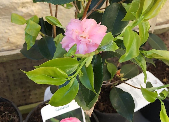 Camellia (pale pink double)