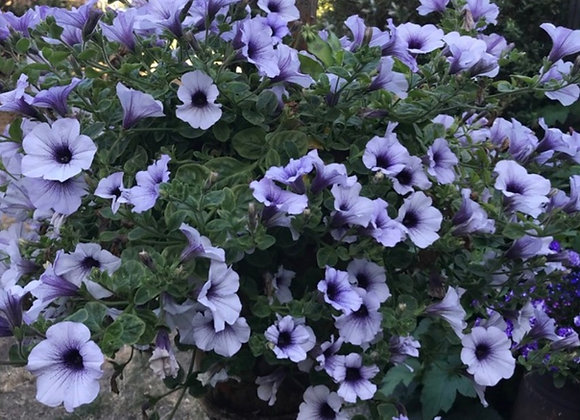 Petunia Blue Vein Trailing Surfinia