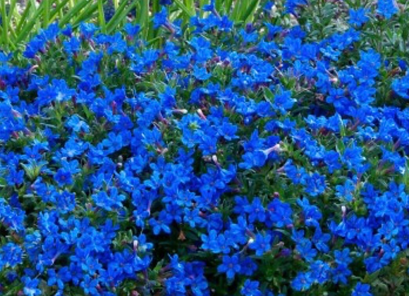 Lithodora Diffusa (Heavenly Blue)