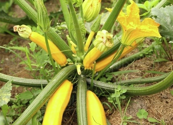 Yellow Courgette Plants