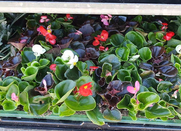 Begonia Bedding (s)