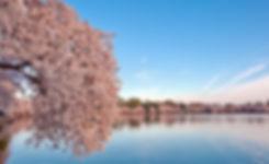 washington_dc_cherry_blossom-wallpaper-2