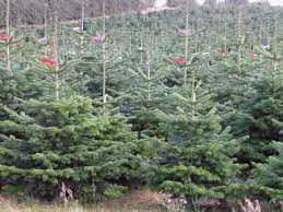 Why do Christmas trees have such a spindly top this year?