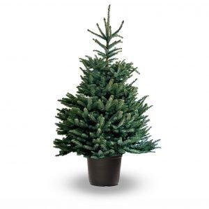 PotGrown Blue Spruce