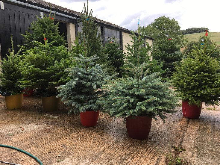 Pot Grown Nordmann Trees
