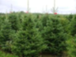 Nordmann_Fir_Plantation_10ft_832d892c-1d