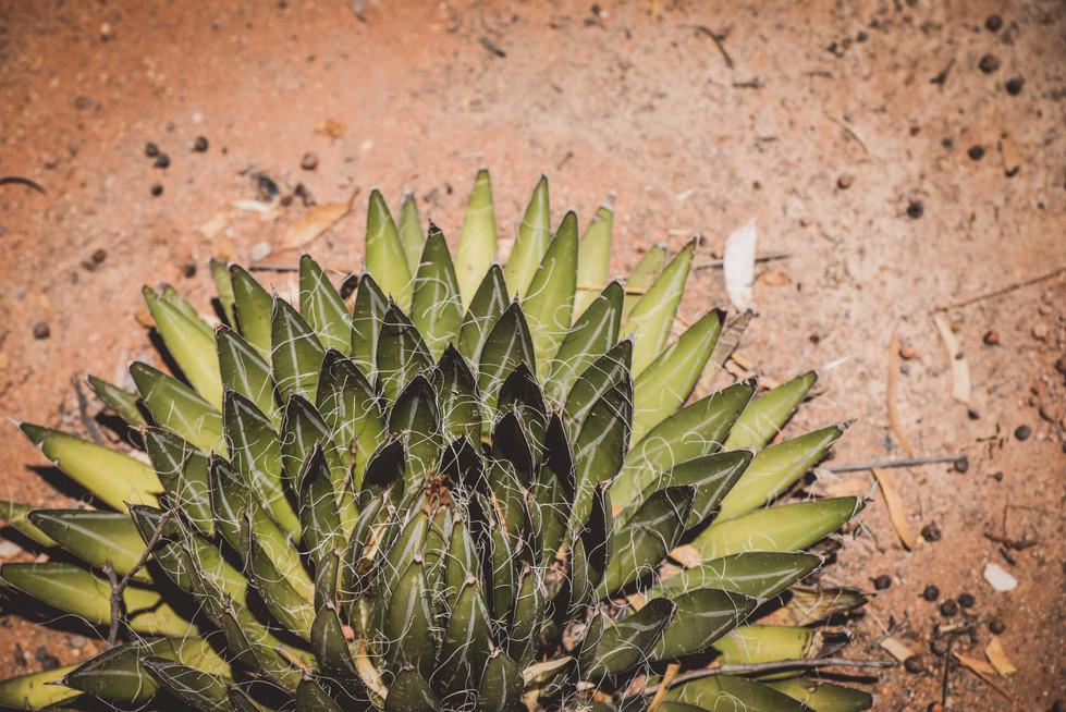 Succulents, Namib Desert, Namibia