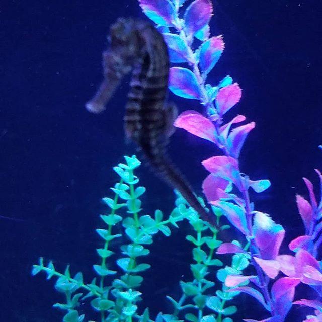 Saw this seahorse _atlantisbahamas #natu