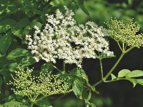 Sabugueiro (Sambucus canadensis) para aliviar sintomas de gripes e resfriados.