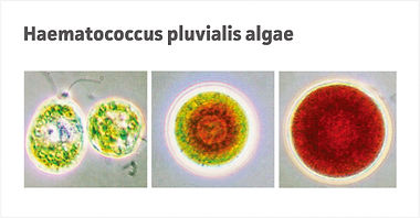 Image of Haematococcus pluvialis algae, a source of Astaxanthin, a primary ingredient of proprietary formula of AstaMed MYO, a medical food for sarcopenia, a muslce loss or muscle wasting