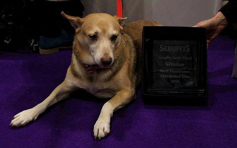 Most handsome dog Scruffts 2016