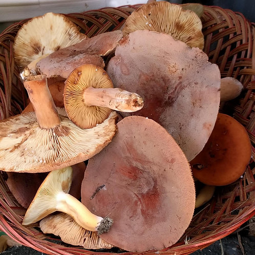 Wild Bradley (leatherback, golden milky) mushrooms, 1/4 lb.