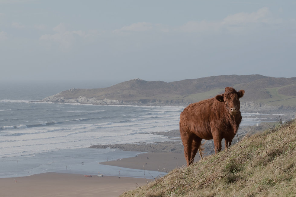 National Trust cow on Potter's Hill