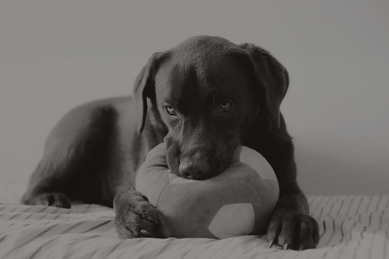 Labrador with dog toy