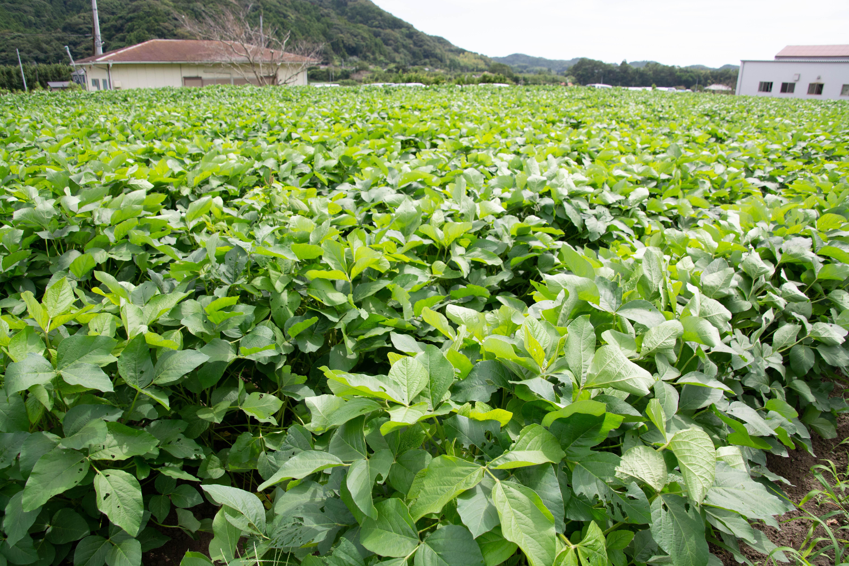 大豆トラストの畑