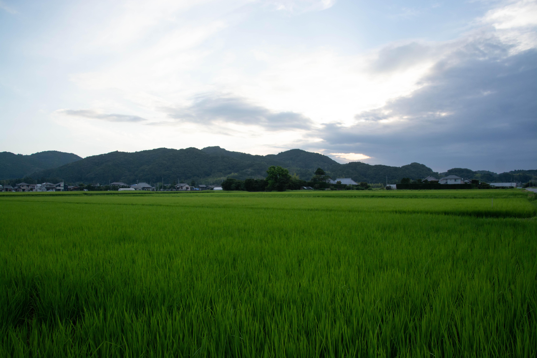 7月の田んぼ 夜明け